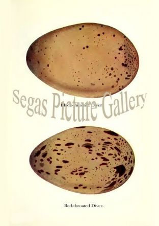Black-throated Diver, Red-throated Diver Eggs